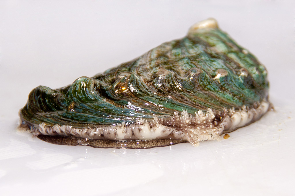 Abalón, un manjar del mar