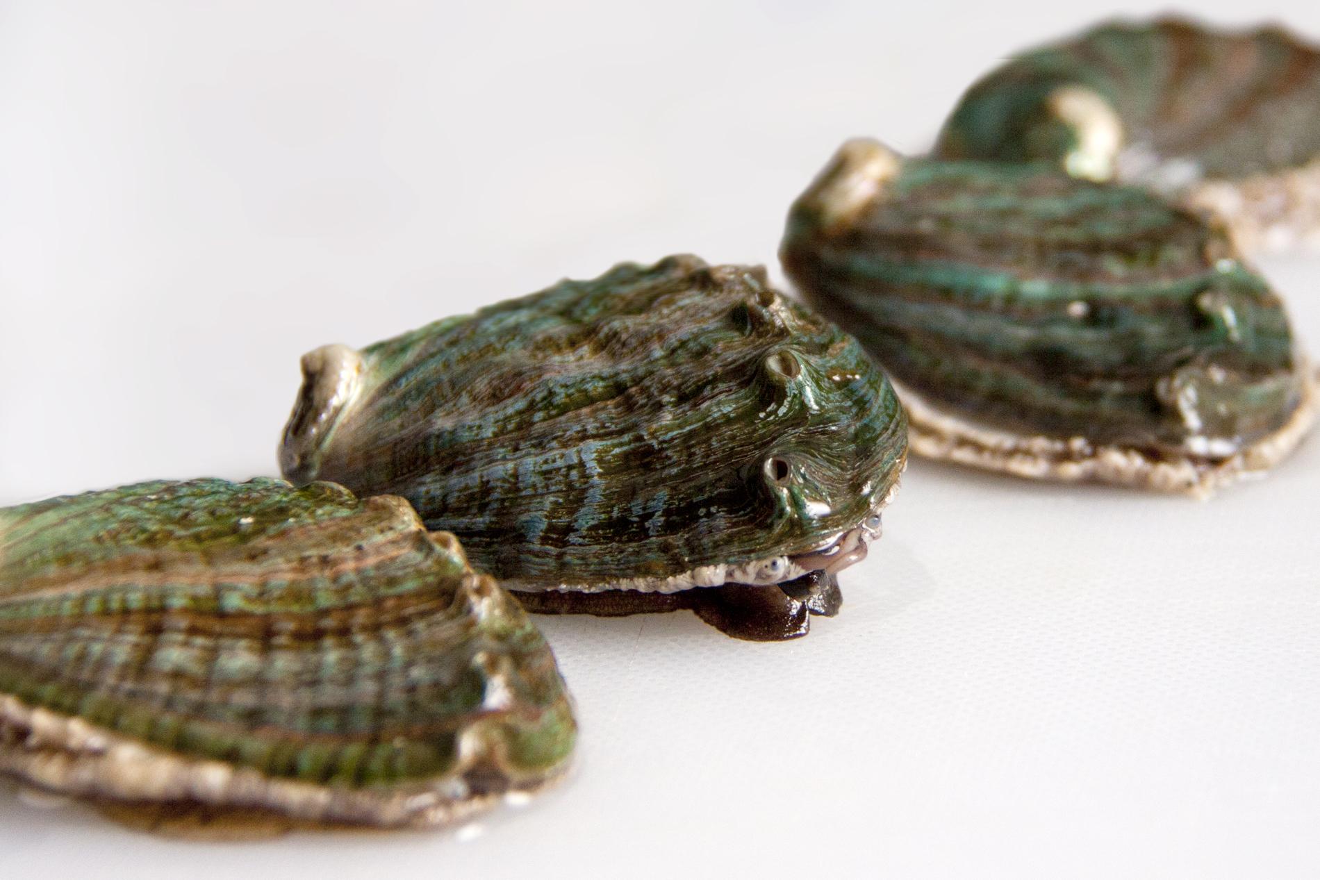 Abalon, a delicacy of the sea